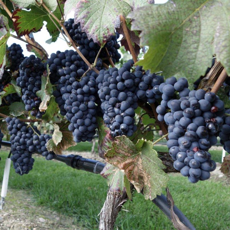 50th-Parallel-Estate-Winery-DSC01161-1024x1024.jpeg