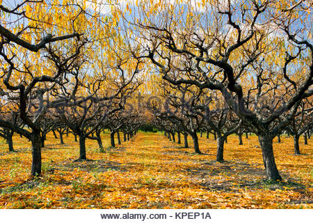 organic-peach-orchard-with-fall-colors-during-the-autumn-season-in-kpep1a.jpg