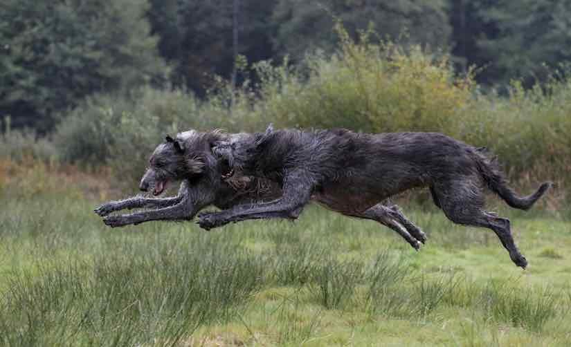 Scottish-Deerhounds-825x502.jpg